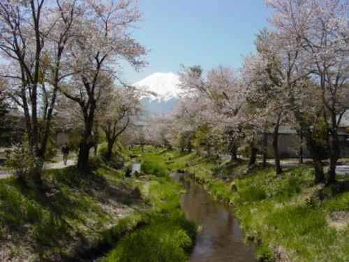 忍野八海の近くを流れる新名庄川沿いに植えられたソメイヨシノ