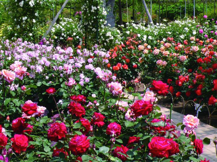 レインボーガーデンのバラ