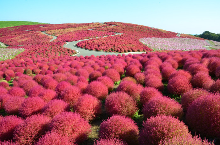 コキア紅葉(みはらしの丘)