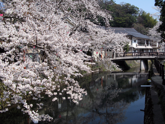 城崎温泉(桜)