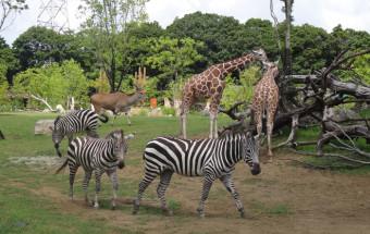野生動物たちが自分の生息地と同じような環境でくらしている「よこはま動物園ズーラシア」