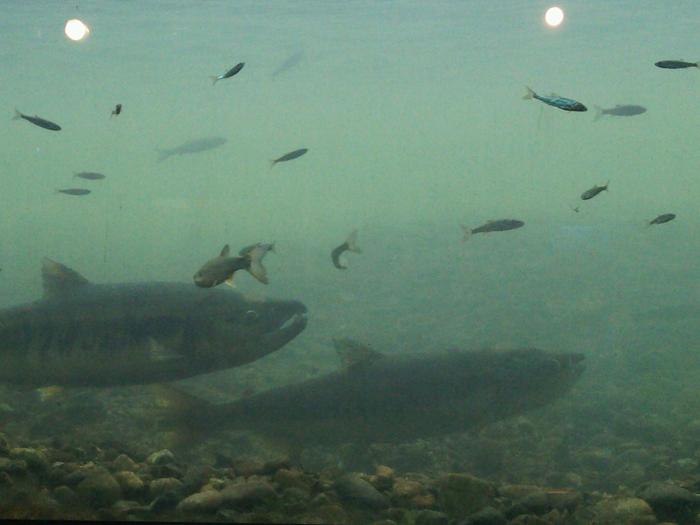 種川の鮭1