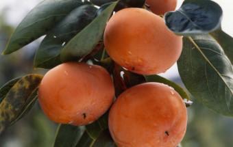 日本一の富有柿の産地にして、真田幸村ゆかりの地としても知られる和歌山県九度山町(くどやまちょう)の『道の駅 柿の郷くどやま』