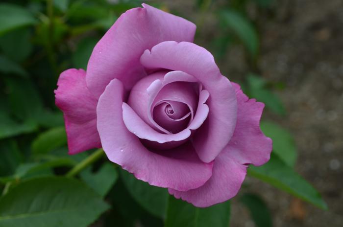 シャルル ド ゴール(ブルーの香り)