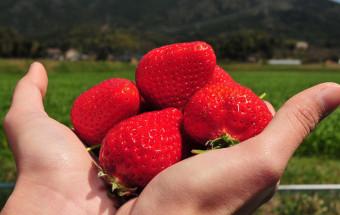 いちごの王様『あまおう』の完熟大粒をお腹いっぱい味わおう!福岡県筑前町にある九州最大規模のいちご園『らいおん果実園』