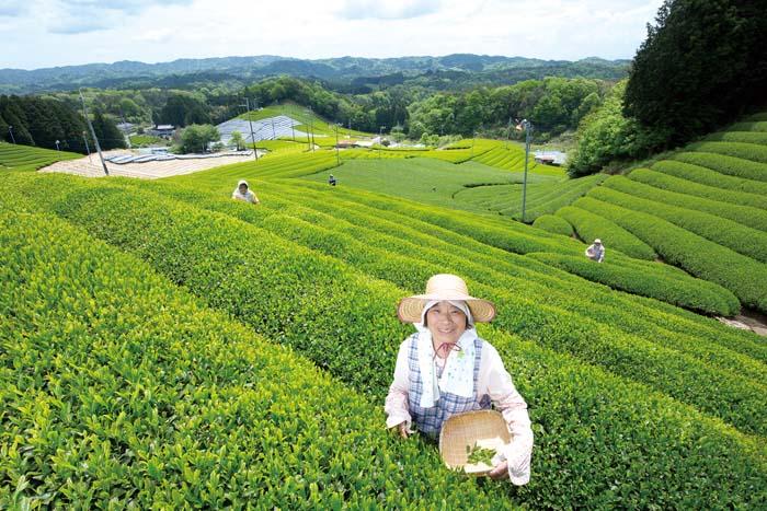 道の駅 お茶の京都 みなみやましろ村9. 茶畑とおばあちゃん