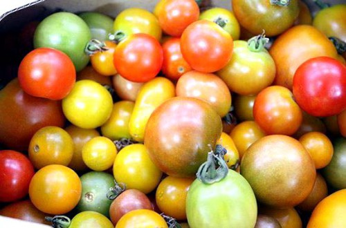 笠岡ベイファーム ミニトマト