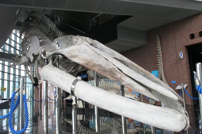 シロナガスクジラ全身骨格標本