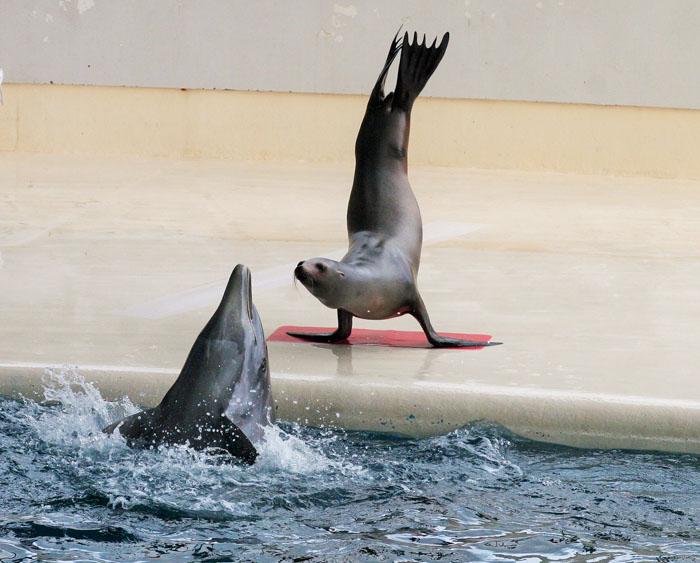 海響館 アシカがイルカの動きを見てパフォーマンス