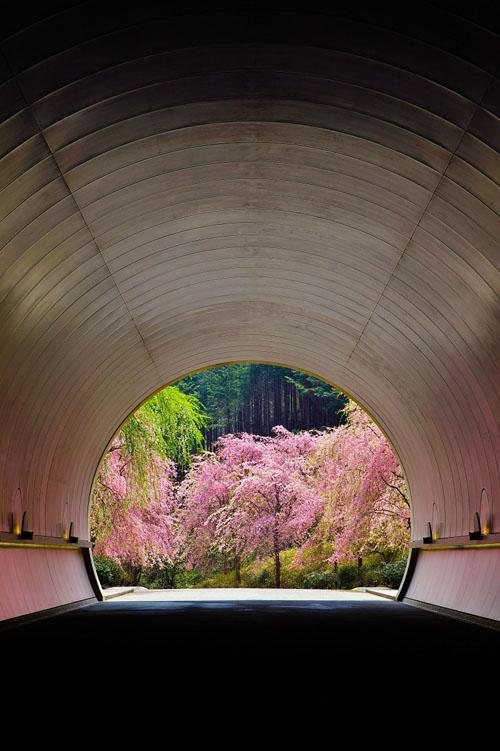MIHO 枝垂れ桜のプロムナード2